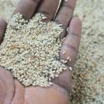 How To Start The Lucrative Export Of Sesame Seeds From Nigeria To International Buyers