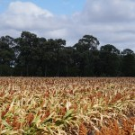 How To Start A Lucrative Sorghum Farming and Production Business In Nigeria: The Complete Guide