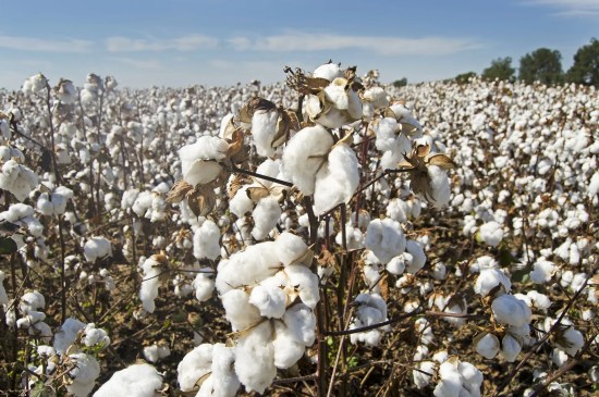 How To Start Cotton Farming In Nigeria Or Africa: Complete Guide