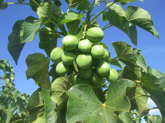 How To Start Jatropha Farming In Nigeria Or Africa: Complete Guide