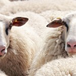 How To Start A Lucrative Ram/Sheep Rearing Business In Nigeria: The Complete Guide