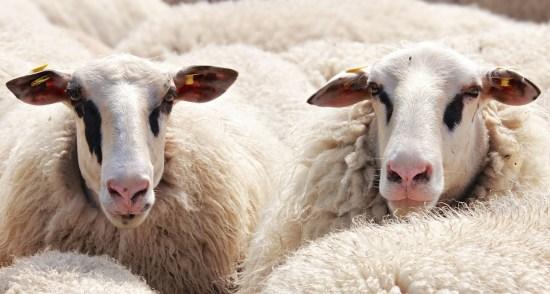 How To Start Ram/Sheep Rearing In Nigeria Or Africa: Full Guide & BPlan