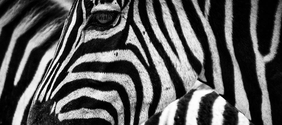 Zebra StartUp (Bild: Pixabay)