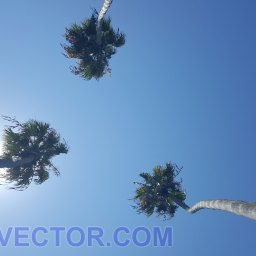 palms in california