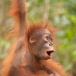 Young orangutan (face like a surprised coconut) by Ian Wood