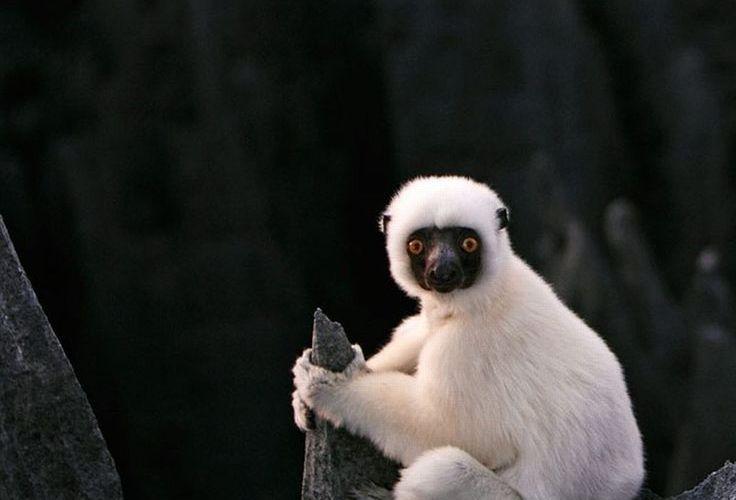 White Monkey, iPad Backgrounds, Best iPad Wallpaper, Wallpaper