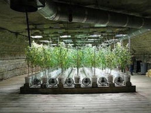 水耕栽培 | 大麻(オオアサ)の栽培なんてしなーい。