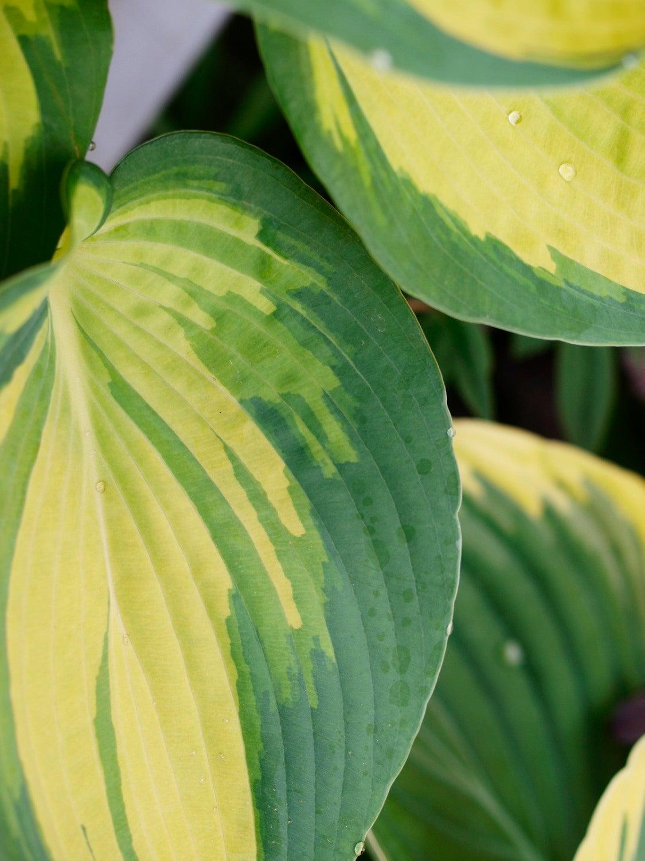 植物の名前の由來をたのしむ   Golden Child Plants -黃金の庭へ-