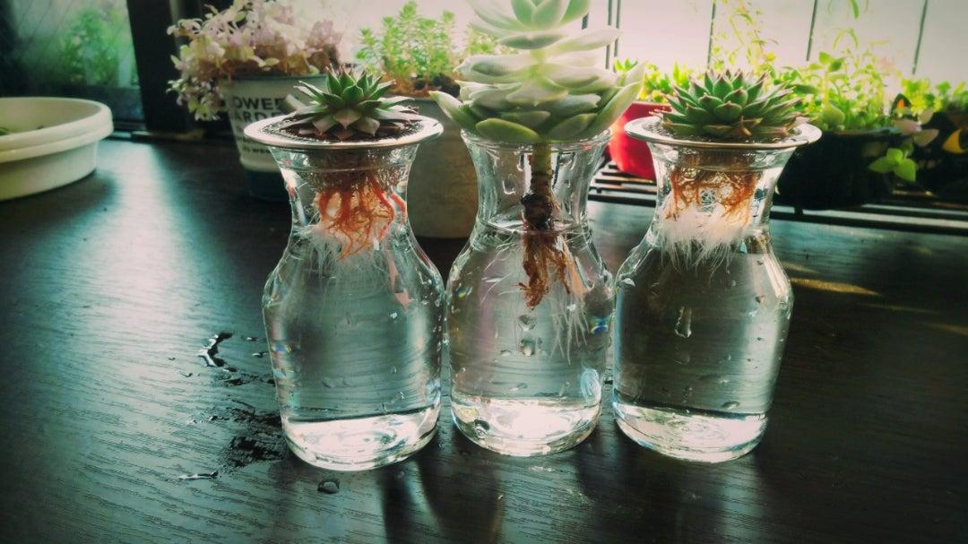 ちょっと大きめの多肉植物の水耕栽培   komamakoのブログ