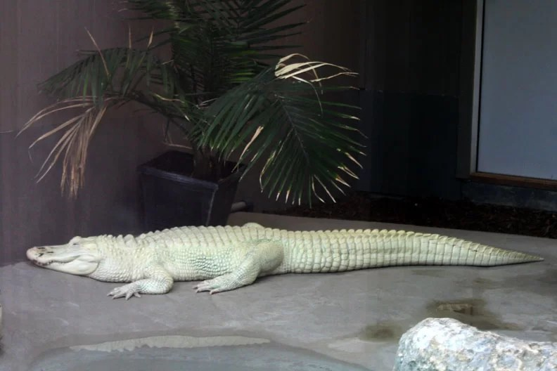 an albino aligator