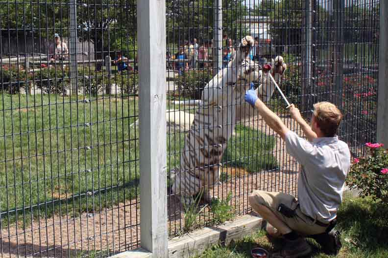 a trainer feeding a white tiger