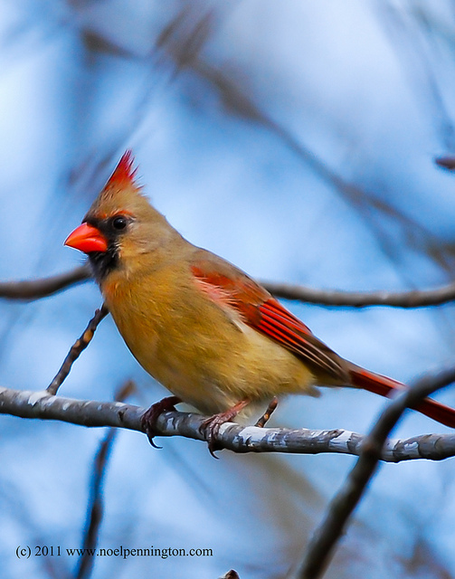 Northern Cardinal State Symbols Usa