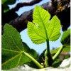 Logo de Podcast Fascinación por las plantas