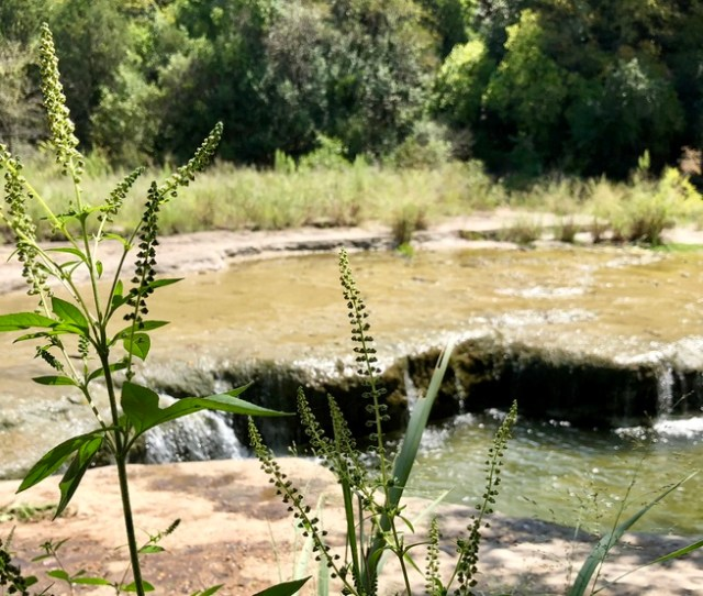 Fall Allergies Are About To Explode In Austin The September Rain Has Delayed The Start Of Ragweed Season But Now The Sunny Windy Weather Has The Pollen