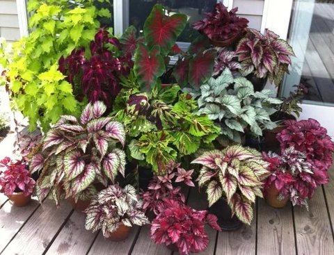 Декоративно-лиственные растения - купить, цена, фото в ...