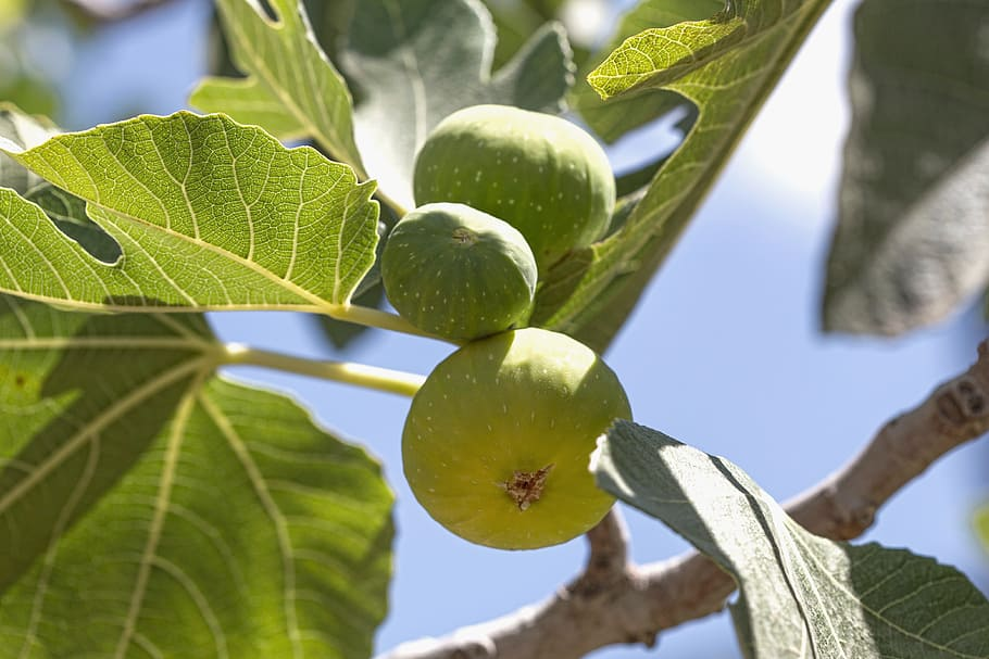 fig-tree-fruit-green.jpg?fit=910%2C607&ssl=1
