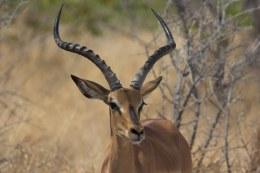 Schwarzgesicht-Impala