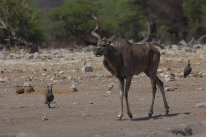 """""""Einhorn"""" Kudu"""