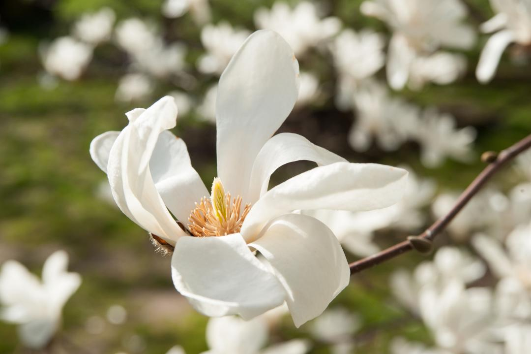 6 Reasons Why Magnolia Shrubs Are The Perfect Summer Plant For