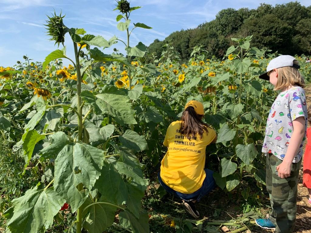 sunflower sommelier at The Pop Up Farm