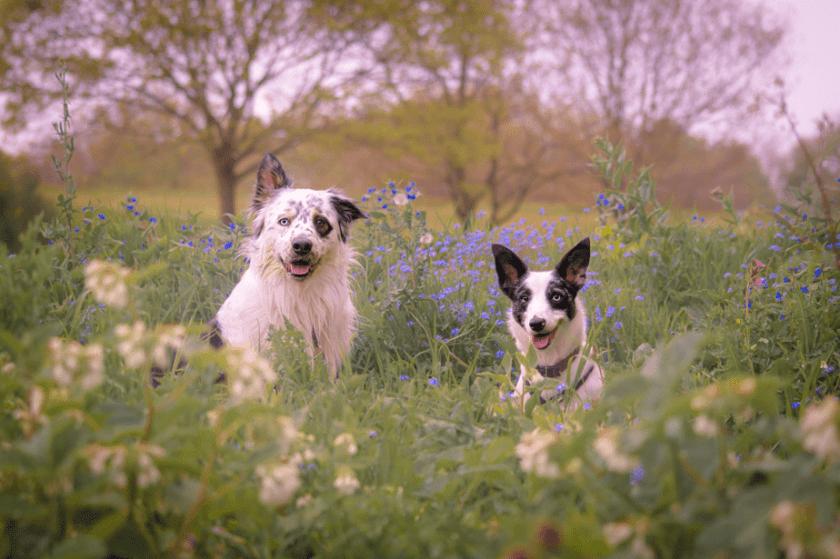 twee schattige honden zittend op een veld vol met bloemen