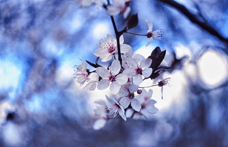 kleine witte en roze bloemen op een bokeh blauwe achtergrond