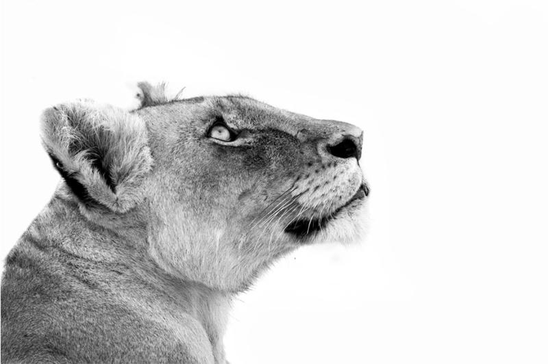 zwart en wit leeuw profiel portret op witte achtergrond