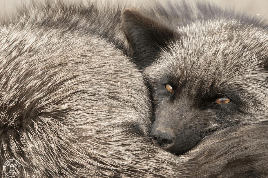 close-up van grijze vos opgerold op zichzelf