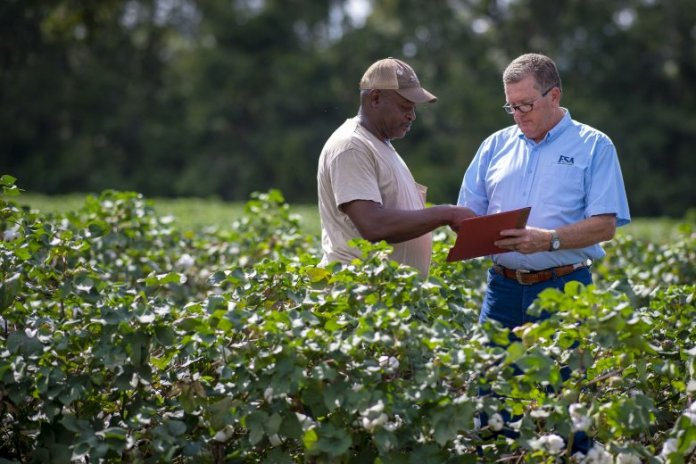 A FSA staff person and a farmer standing in a field of cotton