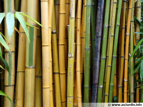 bambou planter cultiver multiplier