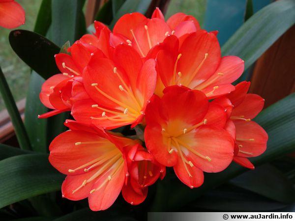 Ne vous privez de Clivia dont la floraison abondante est toujours très spectaculaire, en plus elle est facile de culture
