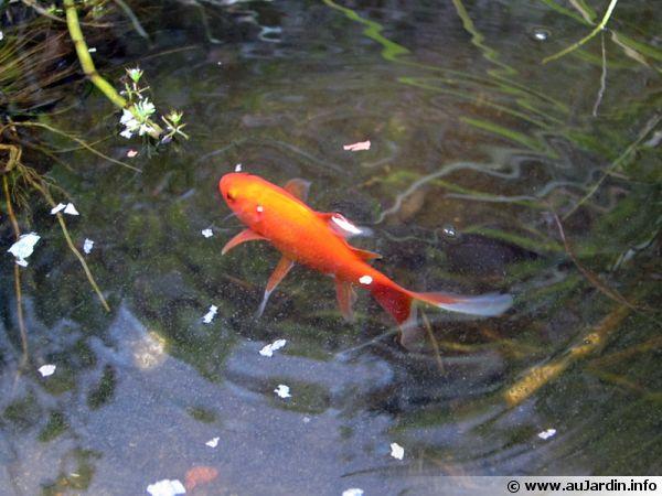 Poisson david racimora for Poisson rouge en bassin exterieur