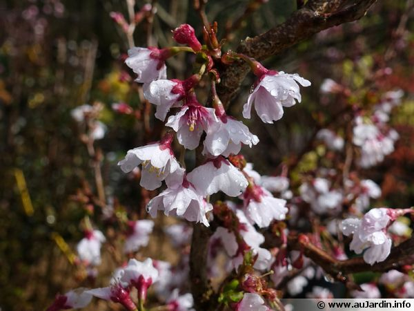 cerisier japonais prunus incisa