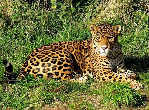 Резултат с изображение за ягуарът