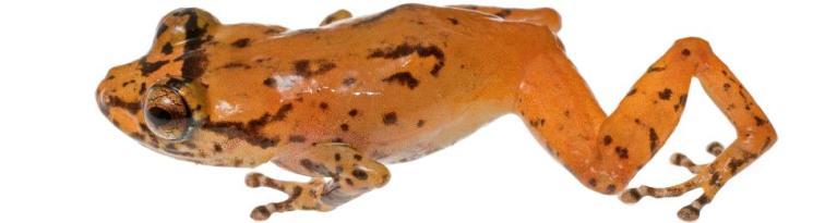 Undescribed Diasporus SP, Tink Frog, Cocobolo Nature Preserve, Panama