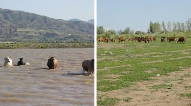Kuruyan barajda hayvanlar otluyor