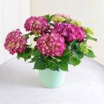 Blumen Geschenk: Hortensie ´´Hot Red®´´ rot im Übertopf