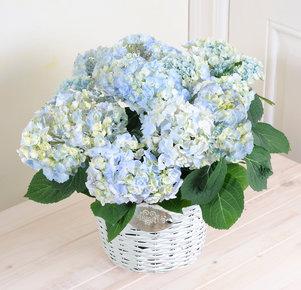 Hortensie ´´Eden´´ blau im Korb