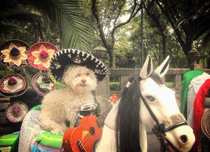 cerbero-on-the-road-cute-poodle-3