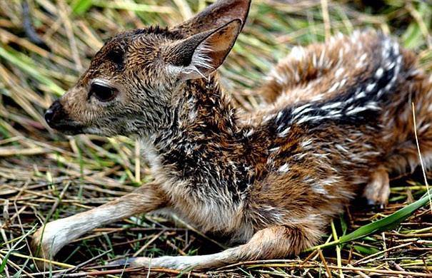 bangladeshi-boy-saves-drowning-baby-deer-12