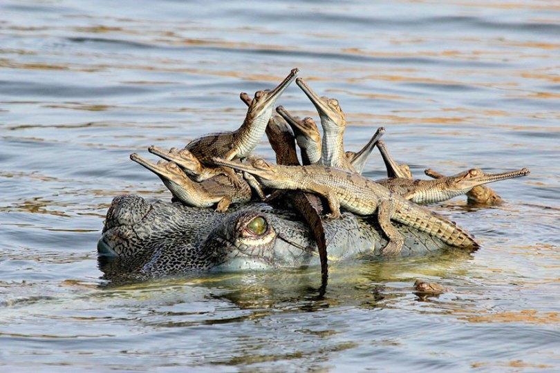animal parents 28 - Momentos adoráveis dos pais com os filhotes no reino animal