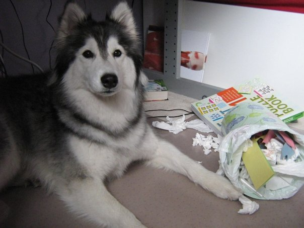 tally-husky-dog-raised-by-cats-27