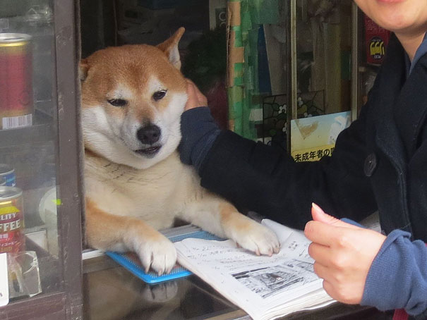 dog-opens-counter-window-shiba-inu-doge-2