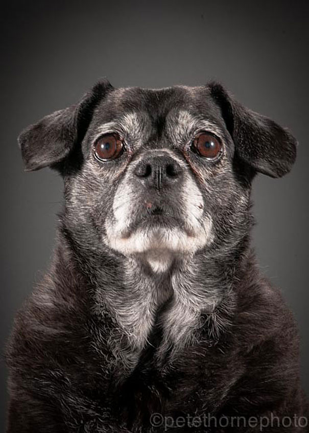 old-dog-portrait-photography-old-faithful-pete-thorne-15