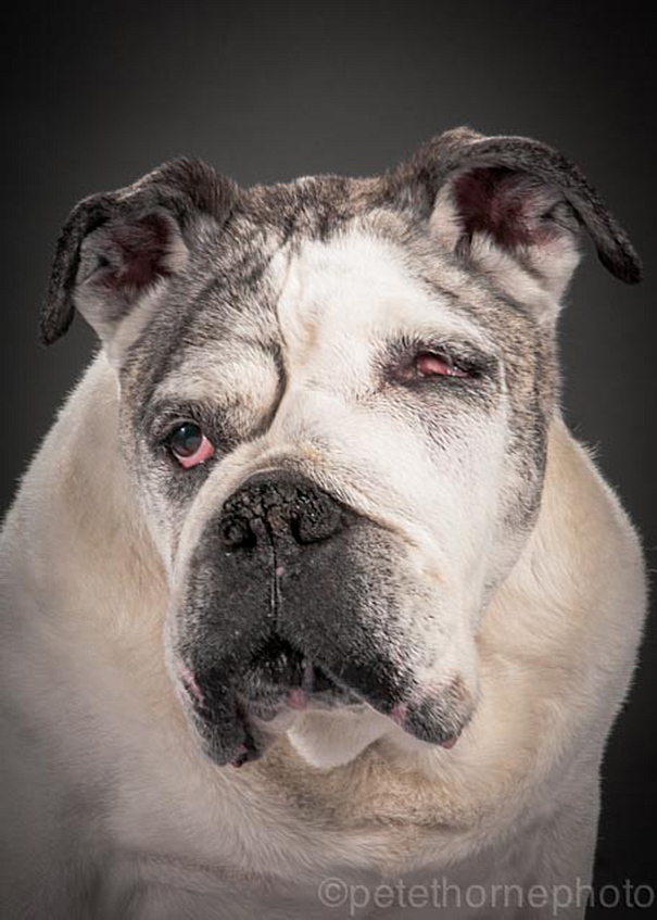 old-dog-portrait-photography-old-faithful-pete-thorne-2