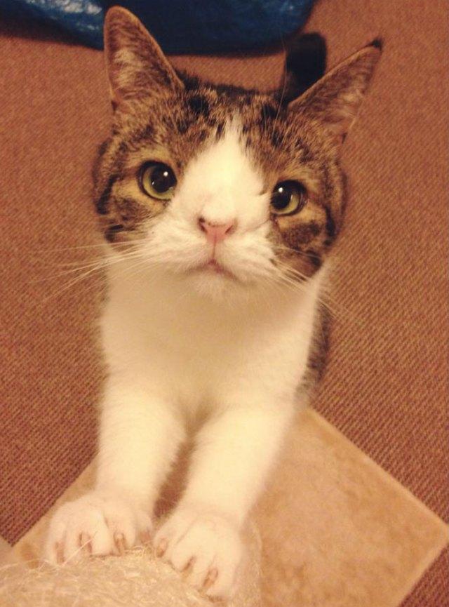 cute-cat-without-nosal-bone-monty-2