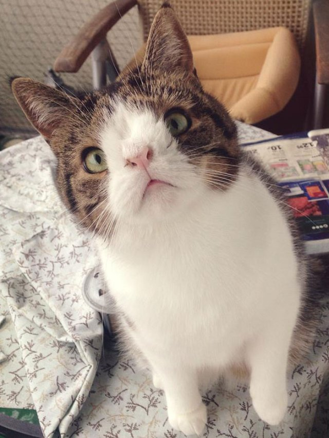 cute-cat-without-nosal-bone-monty-4