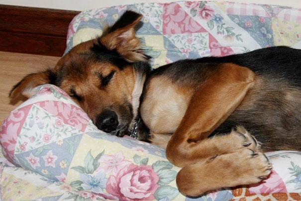 paralyzed-dog-puppy-rescue-thailand-canada-leo-11
