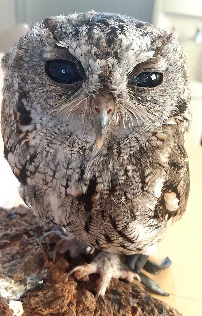 rescued-blind-owl-zeus-1