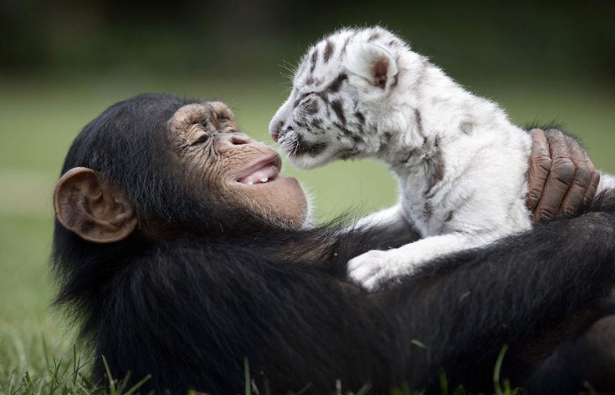 Anjana The Chimpanzee And Tiger Cubs
